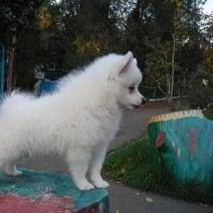 Продам белоснежного щенка малого немецкого шпица