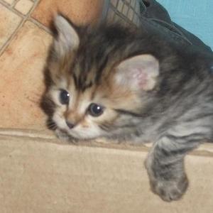 Продам сибирских котят с документами