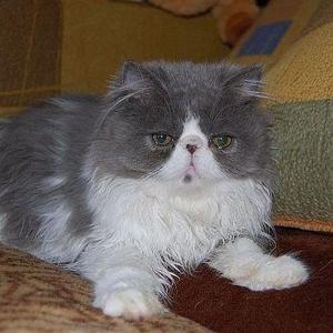 Продается персидский котик