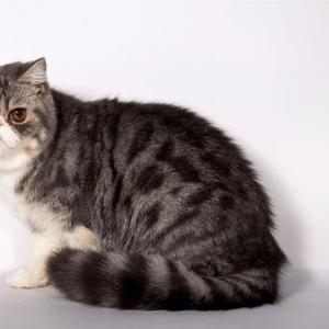 Продается экзотический котик