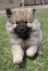 Продам щенков Кеесхонда (Вольф шпица)